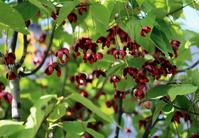 ツリバナの赤い実
