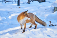 Red foxes on the snow Stock photo [4785470] Red