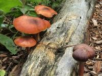 Gymnopilus Aeruginosus Stock photo [4865678] mushroom