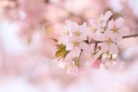 Cherry Blossoms Stock photo [4866099] Cherry