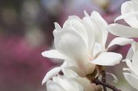 Yulan flowers Stock photo [4866772] Yulan