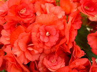 Riegersburg begonia Stock photo [4873590] Begonia