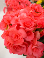 Riegersburg begonia Stock photo [4873741] Begonia