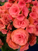 Riegersburg begonia Stock photo [4873830] Begonia