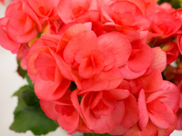 Riegersburg begonia Stock photo [4873836] Begonia