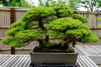 Bonsai of Gorya Matsu Stock photo [5068229] Goryoba
