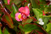 Red begonia Stock photo [5072132] Begonia