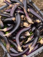 写真 Harvested eggplant(5261174)