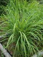 写真 lemongrass(5261192)