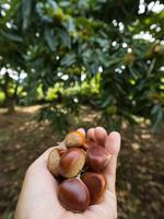写真 Picking chestnuts(5261235)