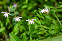 写真 Mizukakushi's flower(5266352)