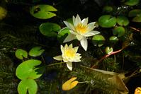写真 Water lily flowers(5266434)