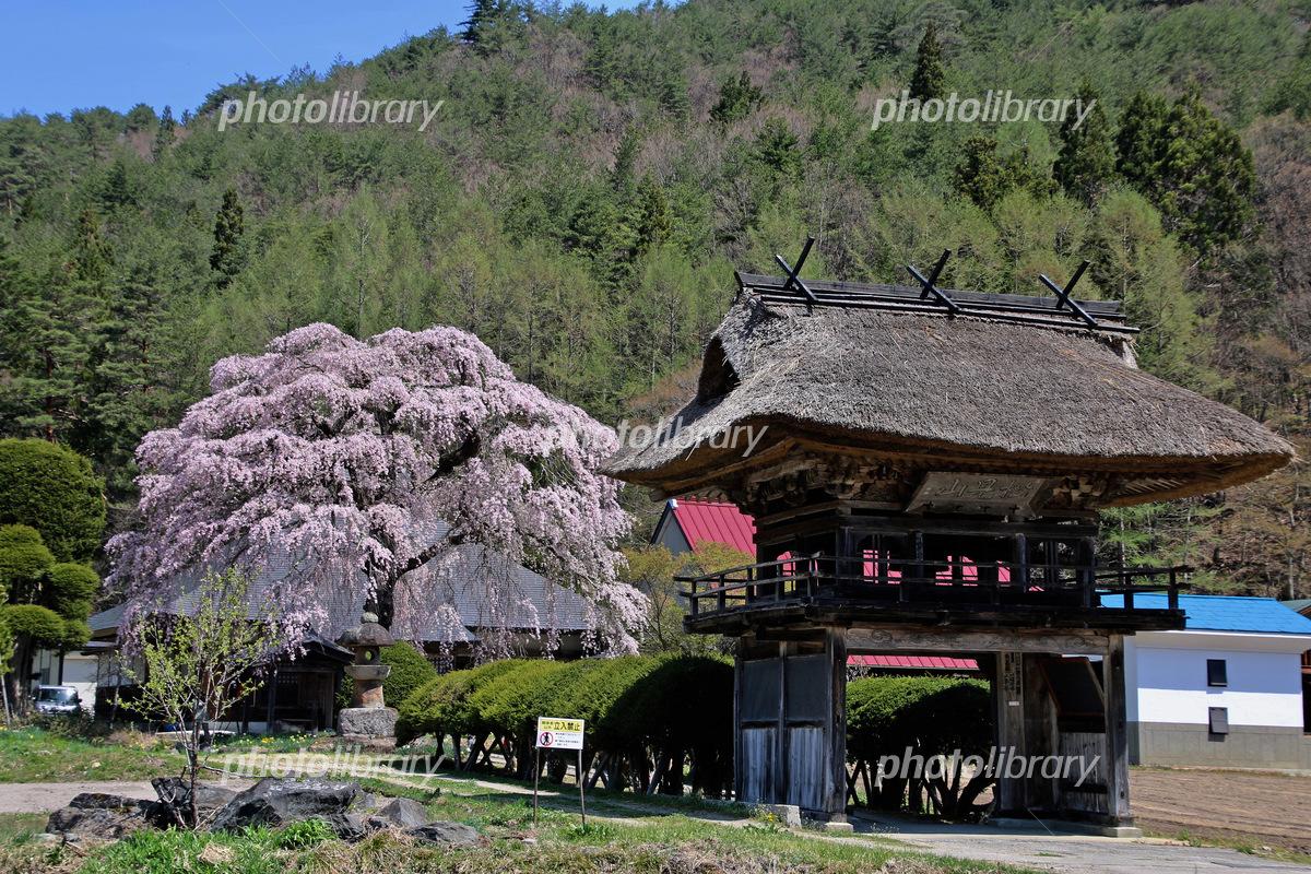南泉寺の平七桜(南会津町) 写...