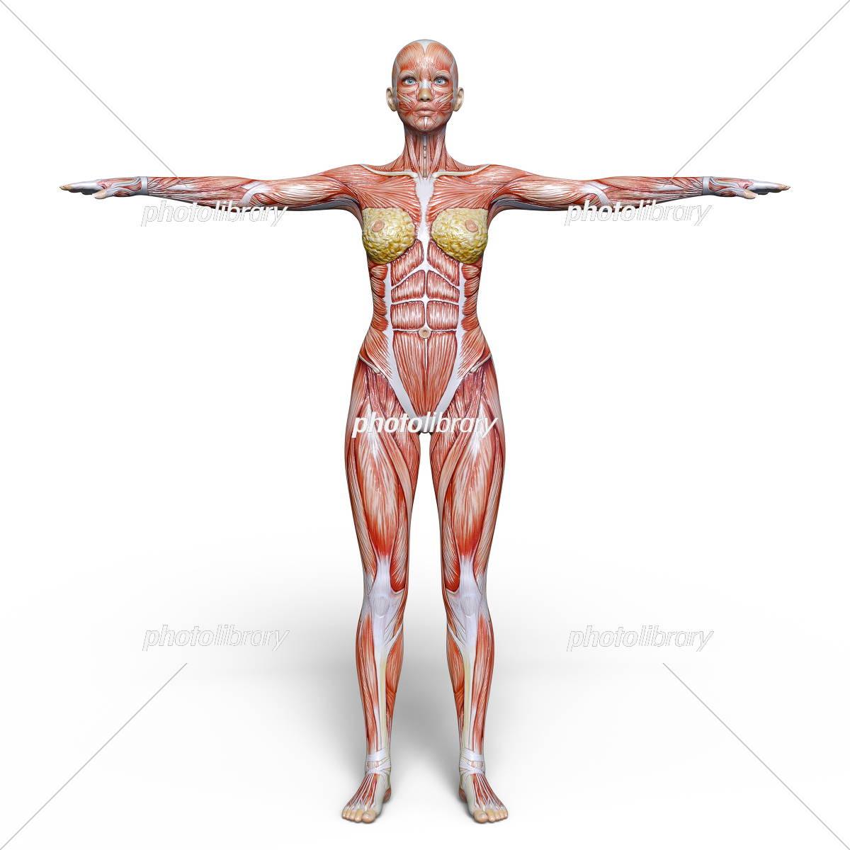女性人体模型 イラスト素材 [ 5480516 ] - フォトライブラリー photolibrary