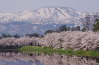高田公園と桜並木