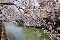 写真 Yokohama Ooka River Sakura and the river(5548282)