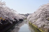 写真 Yokohama Ooka River full bloom cherry tree(5548300)