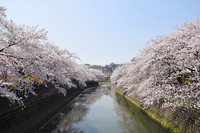 写真 Yokohama Ooka River Sakura(5548320)