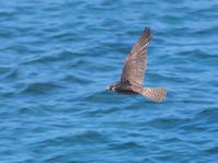 写真 Flying falcon(5548379)