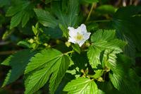 Kajiwa flower  Photo