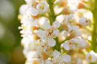 写真 Flower bakuchinoki ? flower(5548511)