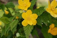写真 Yamabuki flower(5548668)