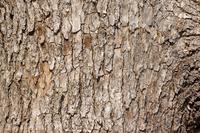 写真 Stem of Camphor tree(5548692)