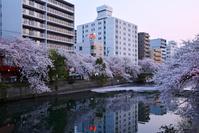 写真 Yokohama Ooka River cherry tree(5549067)