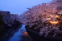 写真 Yokohama Ooka River night cherry light up(5549238)