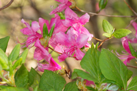 写真 Mitsuba Azalea ? Flower(5549463)