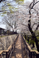 写真 Yokohama Nogeyama park Sakura and slope(5549574)