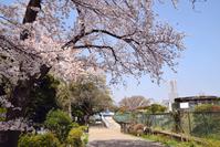 写真 Yokohama Nogeyama Park Sakura(5549599)