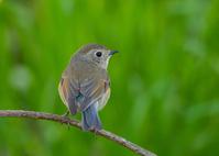 写真 Young male of Ruribitaki(5549748)