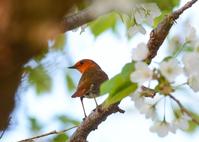 写真 Cherry blossoms and comedri(5549760)