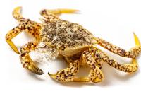 写真 Spicy crab crab(5549839)
