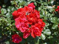 写真 Rose Andalusian(5588644)