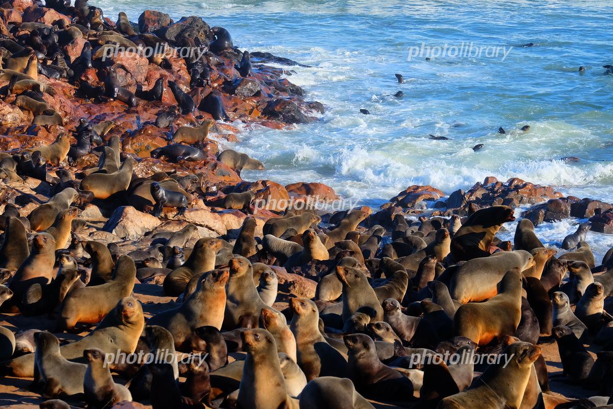 ケープクロスのアザラシの群れ(ナミビ ア) seals in cape cross 写真 ...