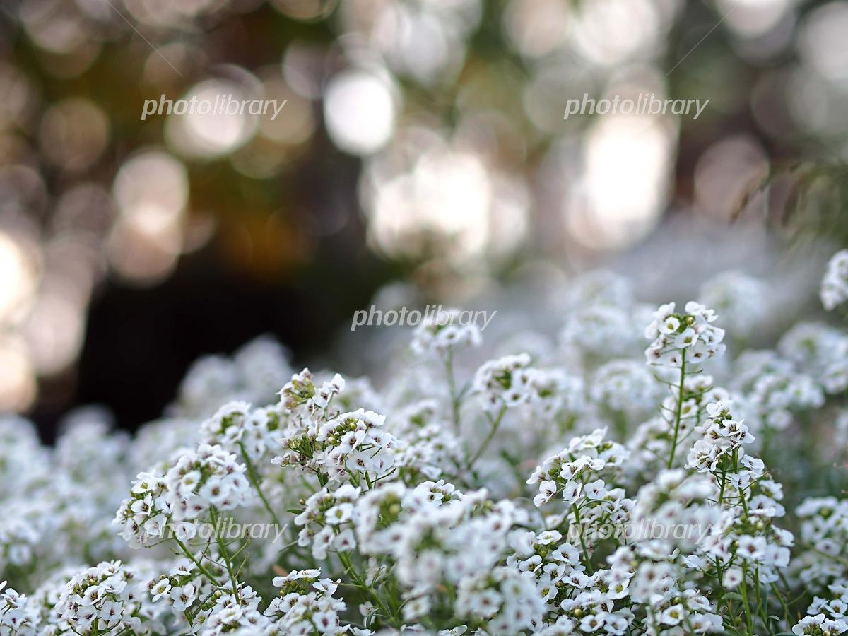 スイートアリッサムの花 写真素材 [ 6203191 ] - フォトライブラリー ...