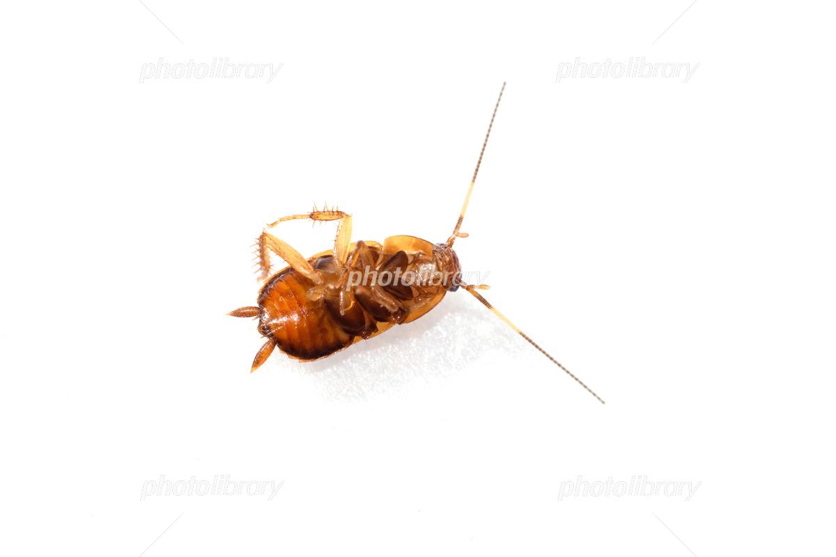 ゴキブリ 幼虫 クロ