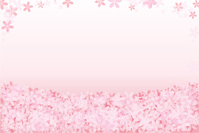 春の桜の花の背景素材 Sakura cherry blossom pink flower Background 桜