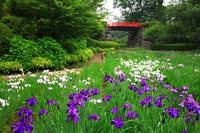 Odawara Castle iris garden Stock photo [291943] Kanagawa