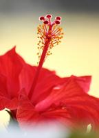 Red hibiscus Stock photo [294541] Hibiscus