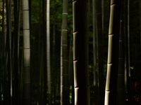 Bamboo forest light up Stock photo [344249] Bamboo