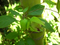 Codonopsis Stock photo [347503] Codonopsis