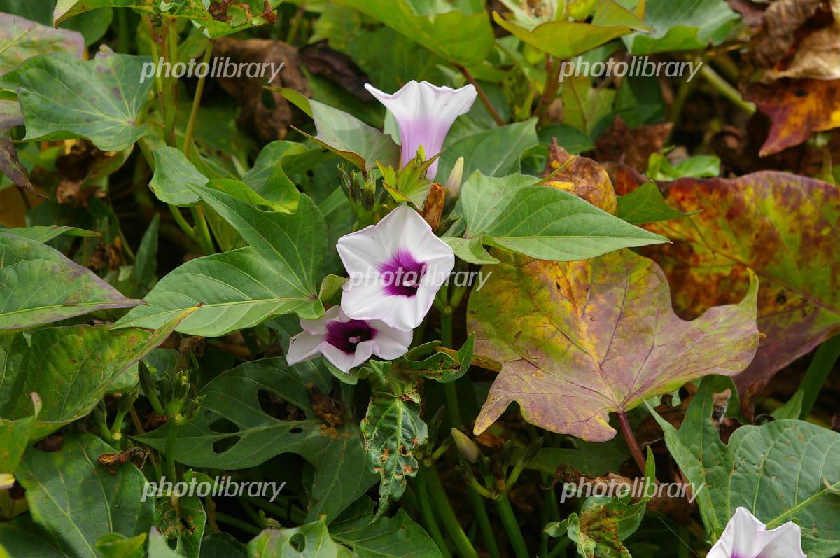 Sweet potato flowers Photo