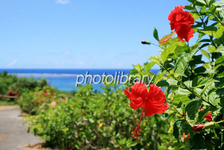 Hibiscus and blue sea Photo