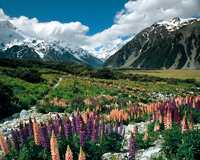 New Zealand Mount Cook flower Stock photo [405810] New