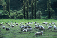 New Zealand Queenstown sheep Stock photo [407660] New