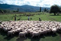 New Zealand sheep flock Stock photo [409290] New