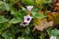 Sweet potato flowers Stock photo [409639] Plant